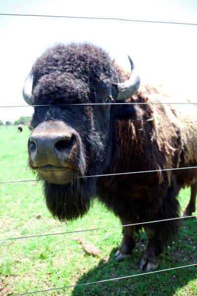 buffalo farm 007
