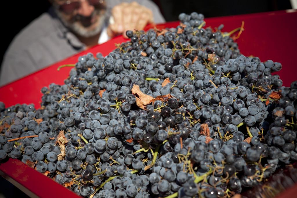 grapes 011
