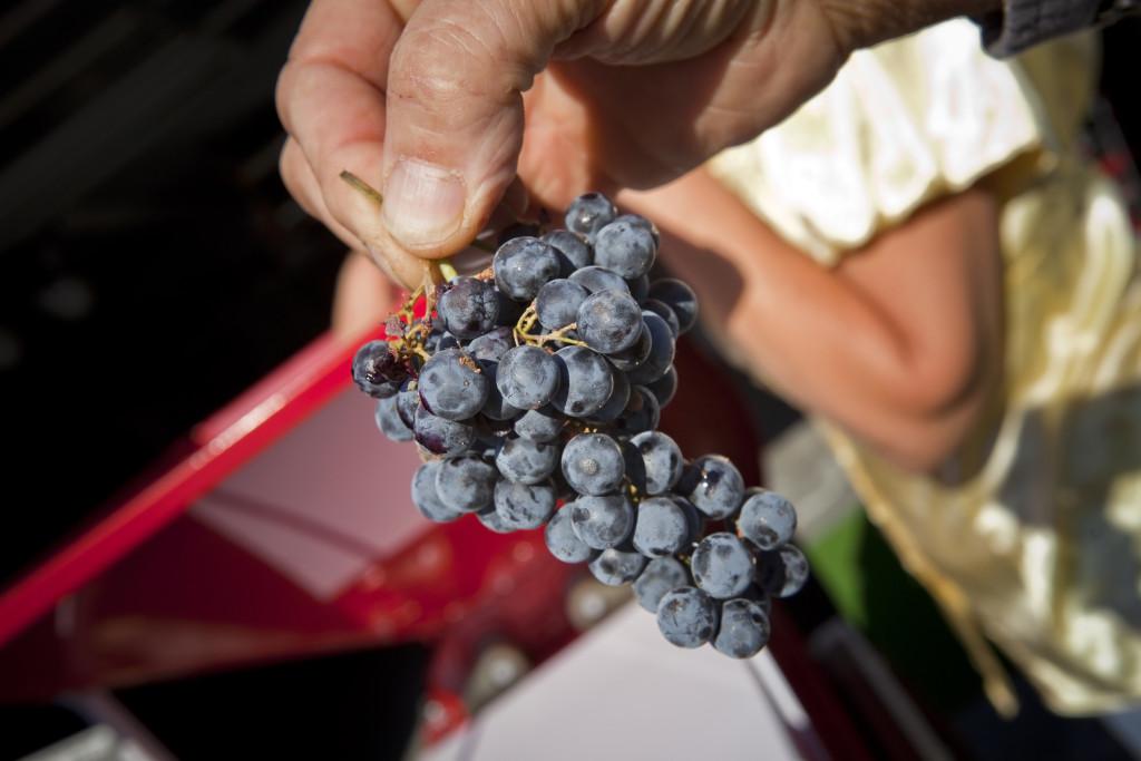 grapes 060