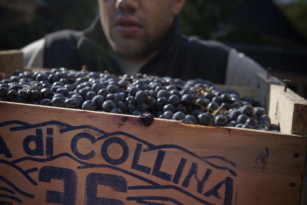 grapes 081