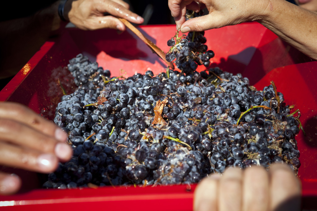 grapes 090