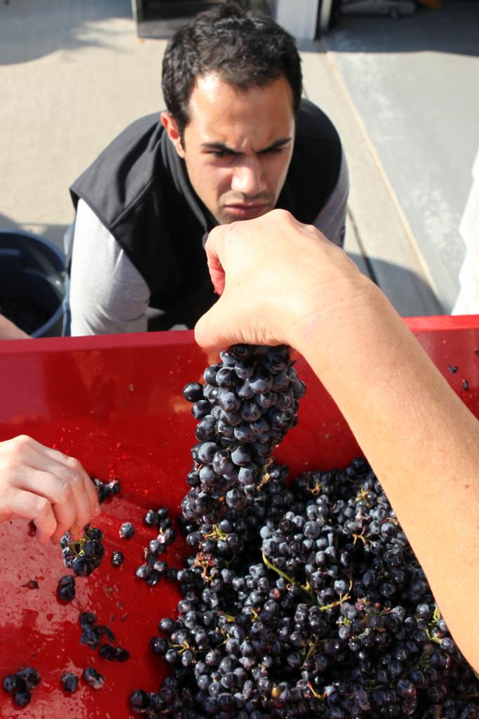 grapes 096