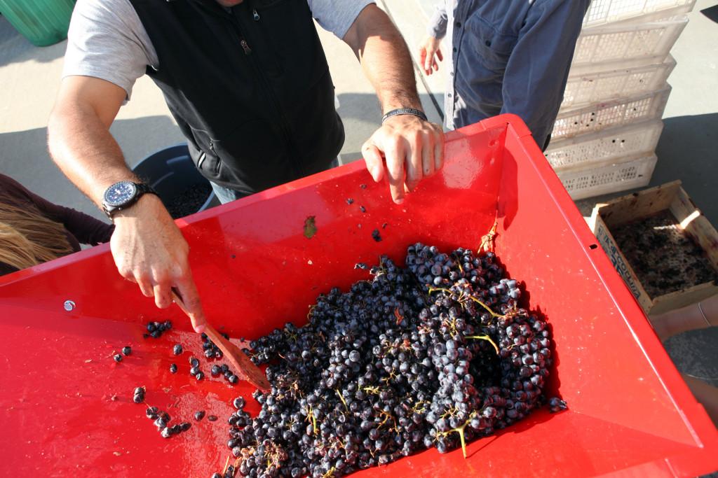 grapes 098